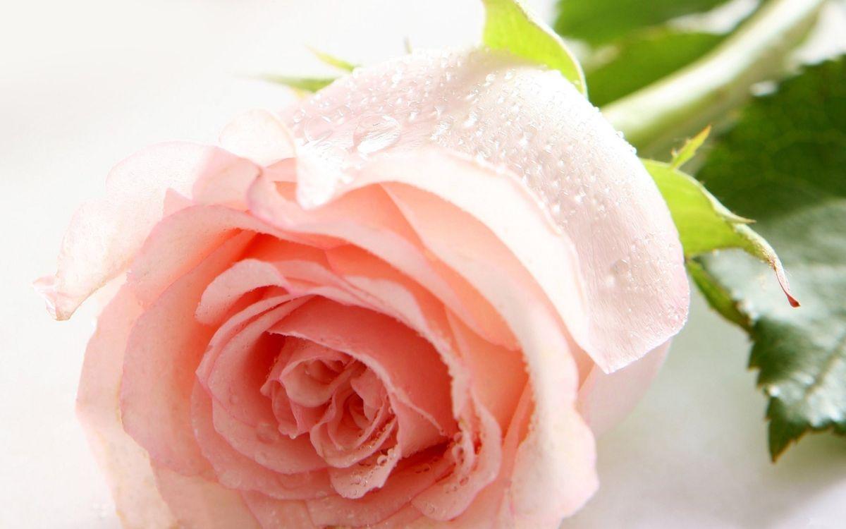Фото бесплатно роза, розовая, липестки, роса, цветы, цветы
