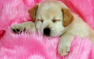 Бесплатные фото щенок,пес,шерсть,лапы,сон,когти,уши