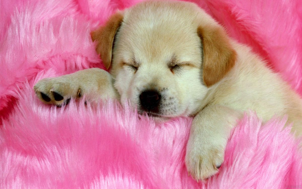 Photos for free puppy, dog, hair - to the desktop