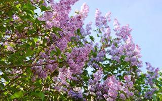 Бесплатные фото сирень,листья,зеленые,ветки,небо,цветы