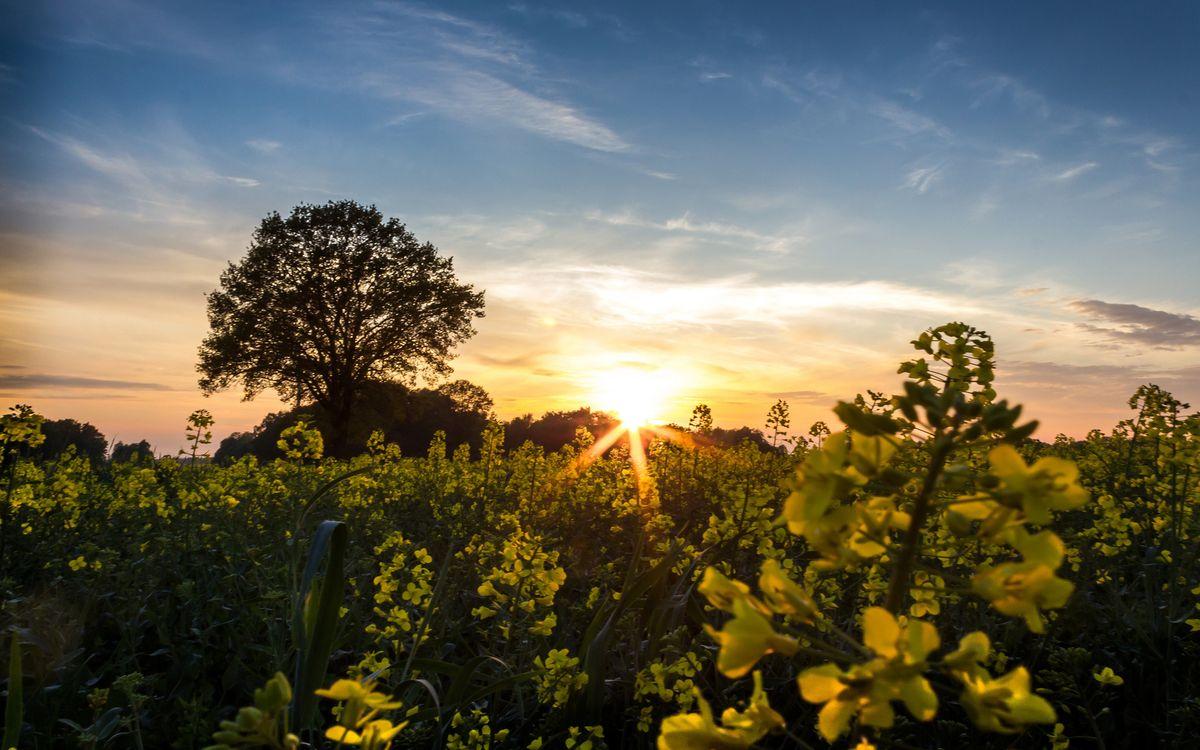 Фото бесплатно трава, цветы, полевые, дерево, солнце, закат, небо, облака, природа, пейзажи, пейзажи