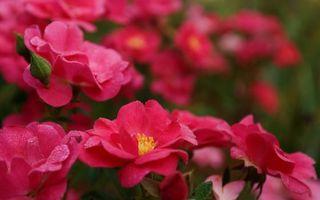 Бесплатные фото цветки,розовые,лепестки,серединка,листья,стебель,капли