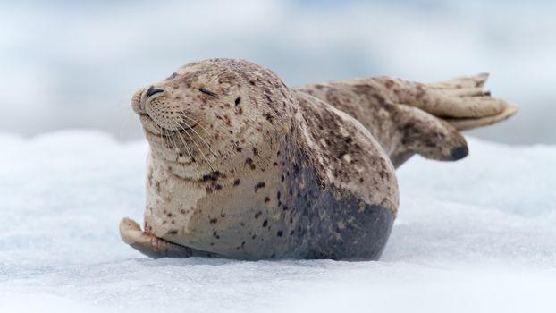 Бесплатные фото тюлень,морской котик,детеныш,снег,малыш,лежит