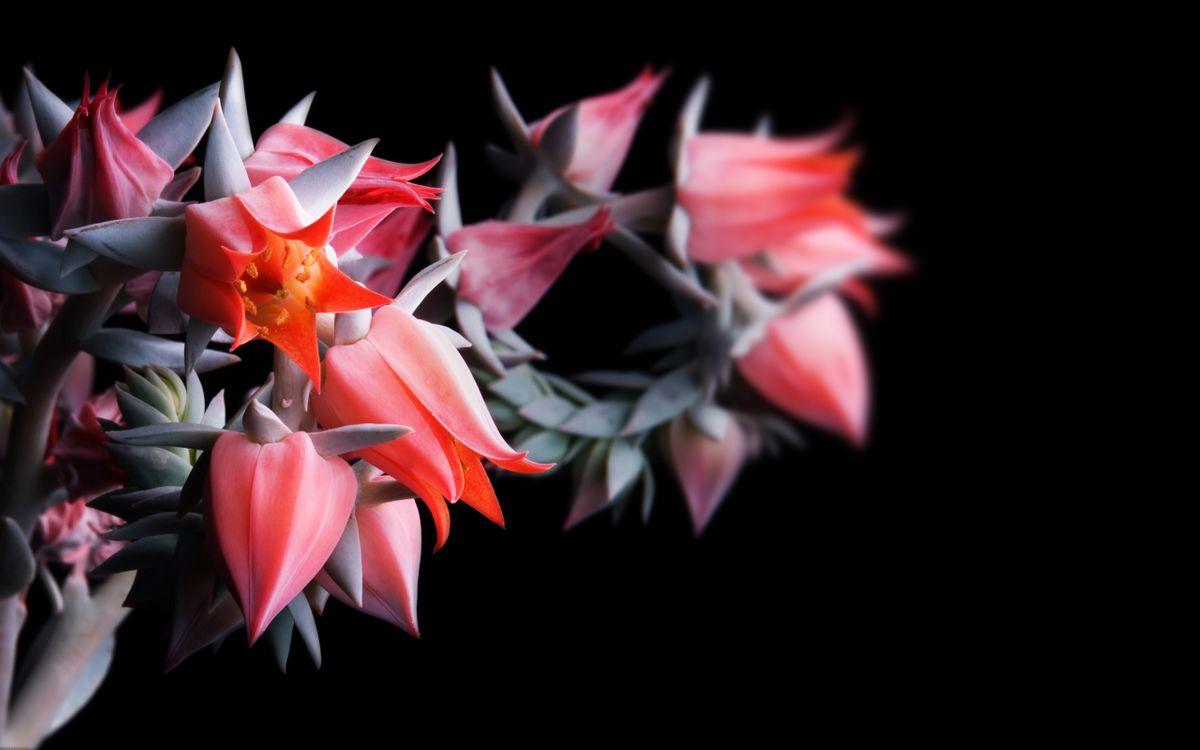 Фото бесплатно квіти, фон, чорний - на рабочий стол