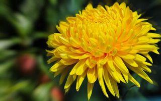 Заставки астра, лепестки, желтые, красивая, пышная, цветок, цветы