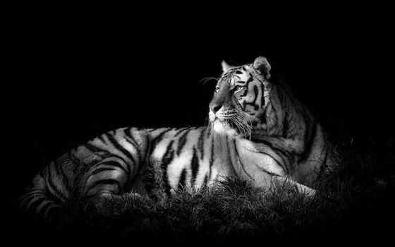 Фото бесплатно белый, тигр, черный, фон, земля, трава, сепия, взгляд, усы, полоски, кошки