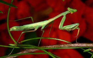 Бесплатные фото богомол,зеленый,хищник,лапы,голова,ветка,насекомые