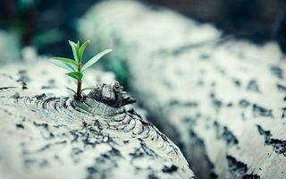 Фото бесплатно дерево, береза, кора