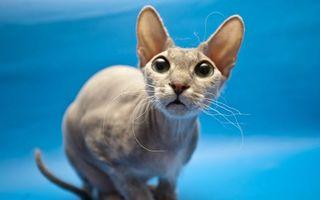 Бесплатные фото кот,лысый,усы,гнутые,уши,рот,порода