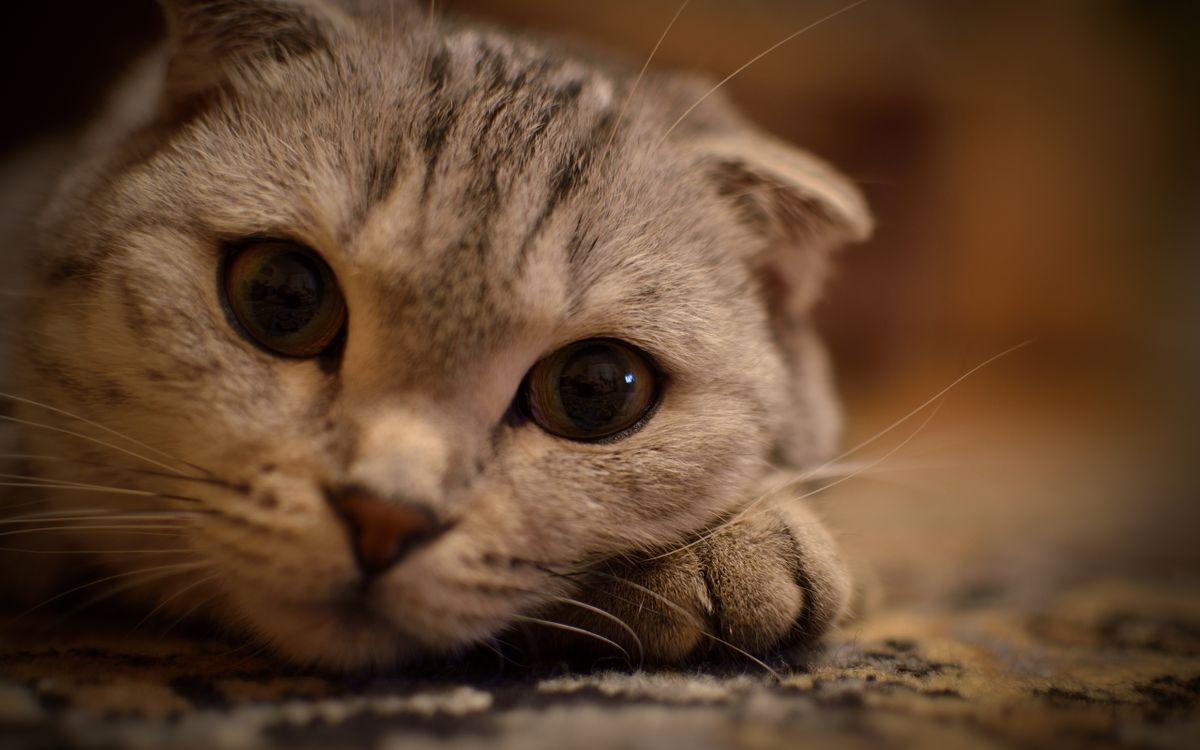 Фото бесплатно кот, моська, большие, глаза, уши, усы, взгляд, серый, кошки, кошки