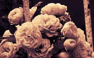 Бесплатные фото лепестки,белые,бутоны,листья,фото,черно-белое,цветы