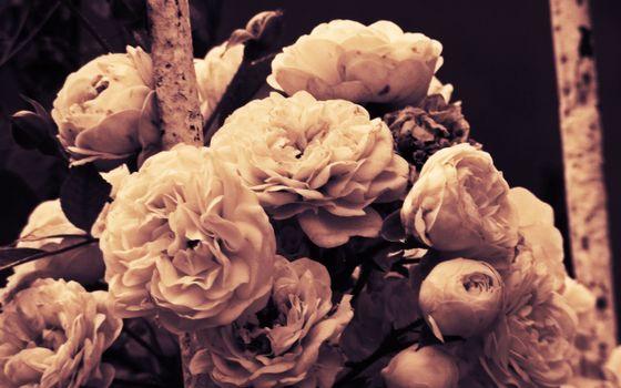 Photo free black and white, white, flowers