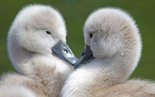 Бесплатные фото маленькие, лебеди, пара, птенцы, клювы, пух, птицы
