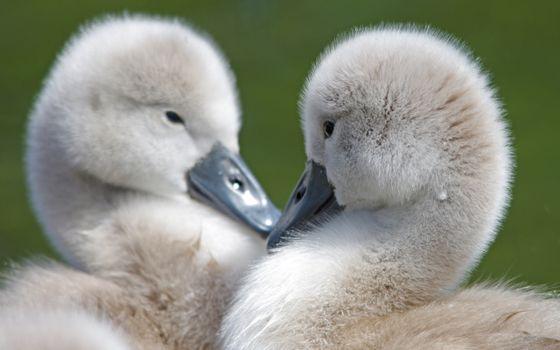 Фото бесплатно маленькие, лебеди, пара