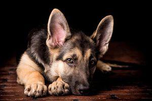 Бесплатные фото овчарка,щенок,взгляд,собака,уши,животные