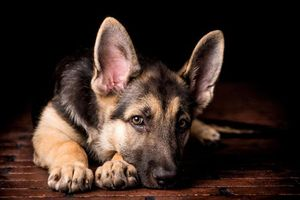 Фото бесплатно овчарка, щенок, взгляд