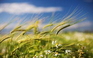 Фото бесплатно поле, рожь, овес, пшеница, колоски, ромашки, цветки, небо, голубое, природа