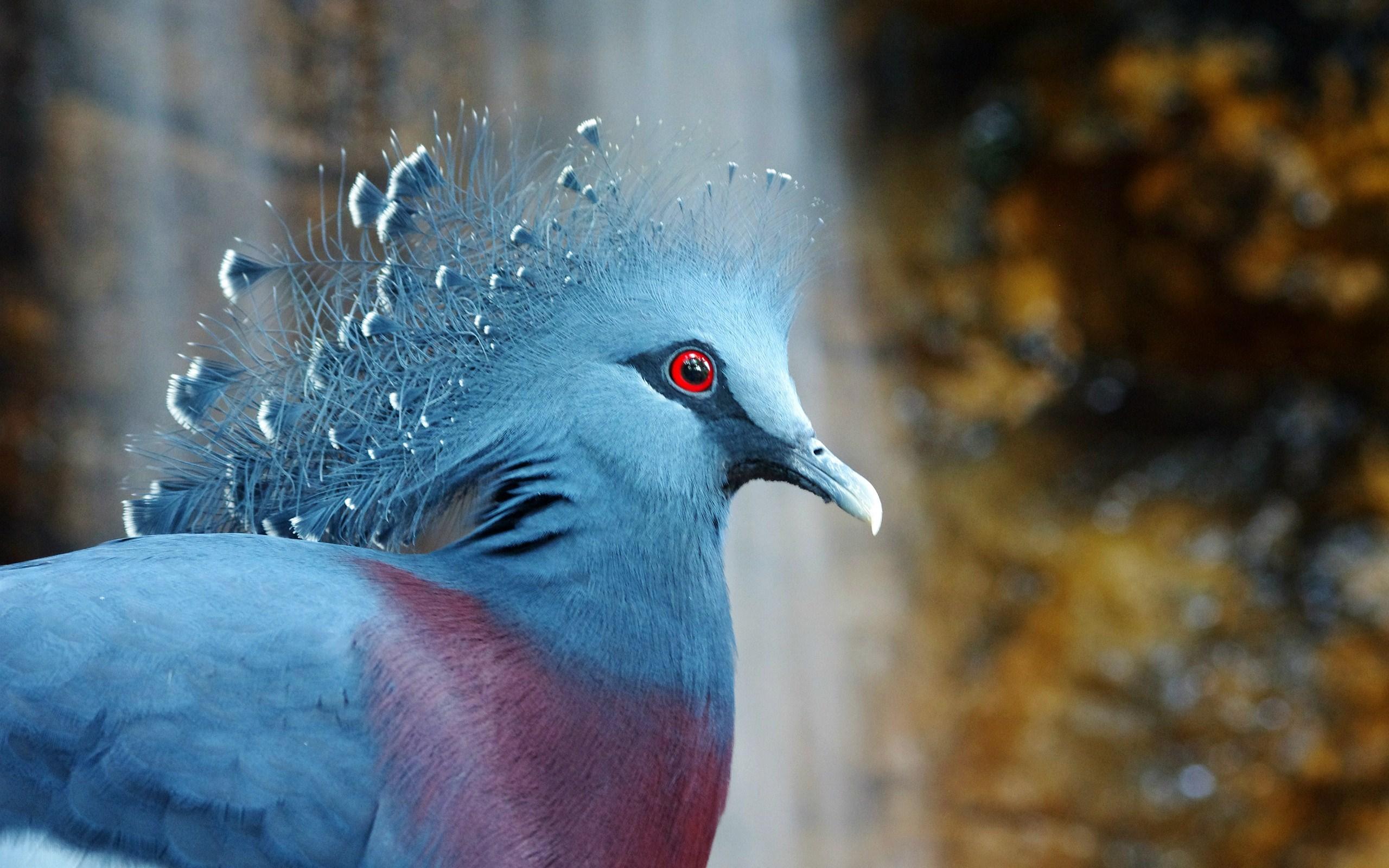 птица, венценосный, голубь