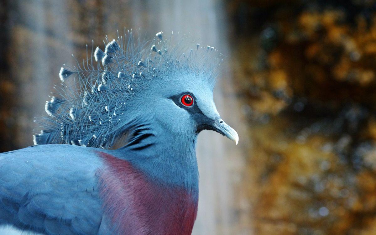Фото бесплатно птица, венценосный, голубь, птицы - на рабочий стол