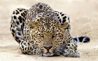 Фото бесплатно пятнистый леопард, взгляд, песок