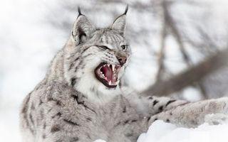 Фото бесплатно рысь, оскал, клыки, зубы, уши, кисточки, кошки