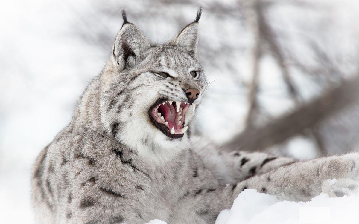 Фото бесплатно рысь, оскал, клыки, зубы, уши, кисточки, кошки, кошки