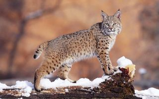 Фото бесплатно рысь, зима, снег, дерево, палено, взгляд, глаза, шерсть, окраска, пятна, кошки