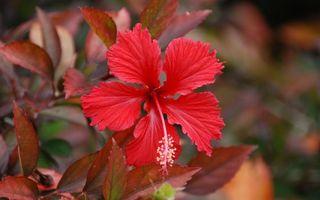 Фото бесплатно цветок, красный, лепестки, тычинка, листья, ветка, клумба, сад, цветы
