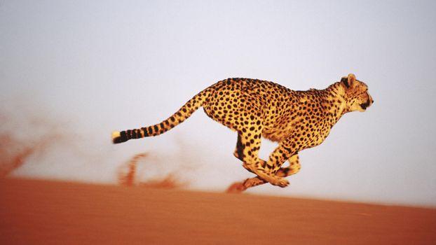 Заставки гепард, бег, скорость