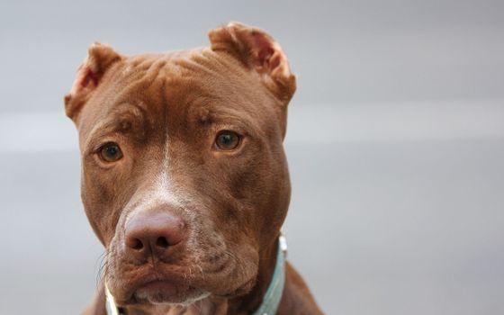 Фото бесплатно американский питбуль, порода, щенок