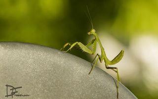 Фото бесплатно богомол, зеленый, усы