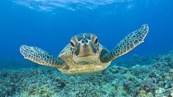 Обои черепаха, морская, дно, рифы, кораллы, вода, море. океан, лапы, панцирь, глаза, заплыв, подводный мир