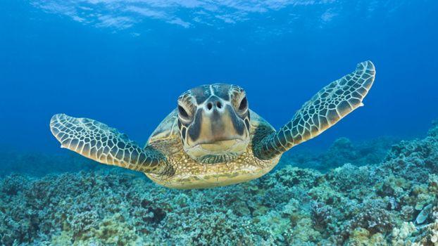 Фото бесплатно черепаха, морская, дно, рифы, кораллы, вода, море. океан, лапы, панцирь, глаза, заплыв, подводный мир