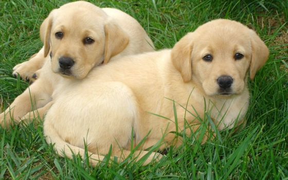 Photo free two puppy, grass, leisure