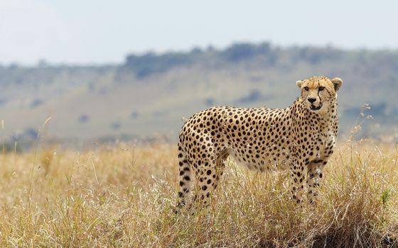 Фото бесплатно гепард, окрас, пятна
