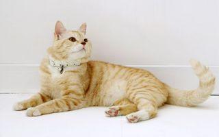 Бесплатные фото кот,рыжий,домашний,ошейник,уши,лапы,когти