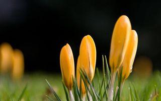 Бесплатные фото крокусы,подснежники,цветки,лепестки,бутон,желтые,листья