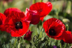 Бесплатные фото мак,красный,лепестки,бутоны,клевер,поле,луг