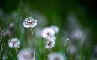 Бесплатные фото одуванчик, стебель, белый, трава, зеленая, луг, природа