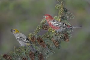 Фото бесплатно Pine Grosbeak, птицы, птица на ветке