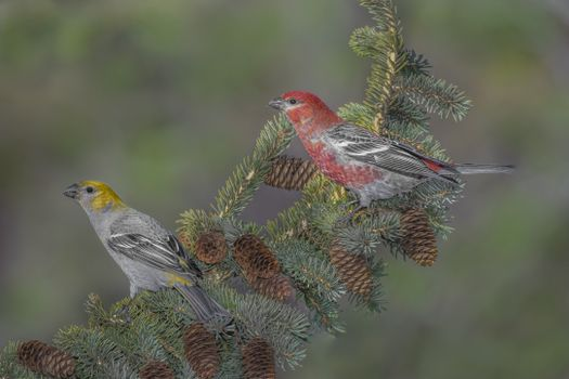 Photo free Pine Grosbeak, birds, a bird on a branch