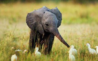 Фото бесплатно слоненок, уши, хобот