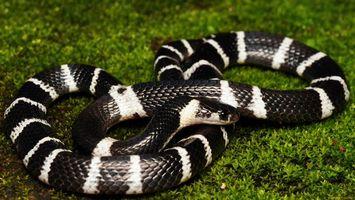 Обои змея, черная, белая, трава, зеленая, голова, животные