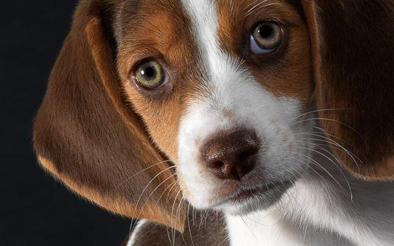 Photo free beagle, friend, puppy