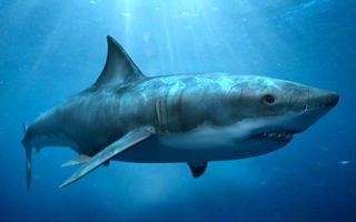 Photo free shark, large, white