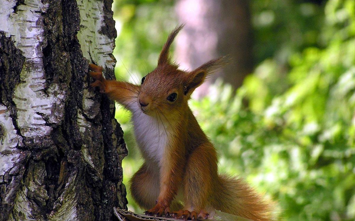 Обои белка, зверек, шерсть, уши, усы, нос, глаза, лапки, хвост, лес, листья, зелень, лето, животные на телефон   картинки животные