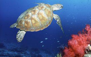 Заставки черепаха, море, вода