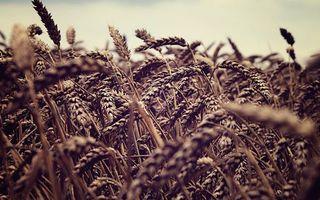 Бесплатные фото колоски,рожь,овес,пшеница,поле,растения,урожай