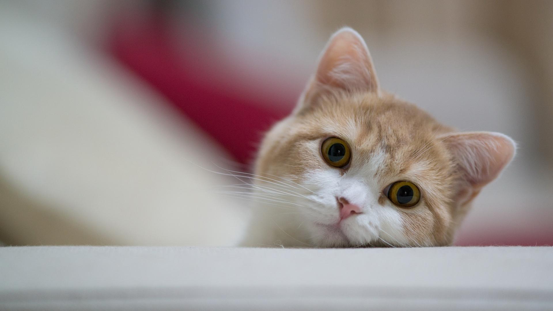 кот, выглядывает, морда