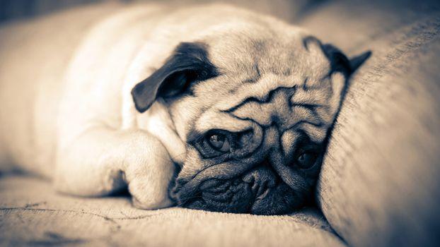 Бесплатные фото мопс,диван,отдых,взгляд,грусть,собаки
